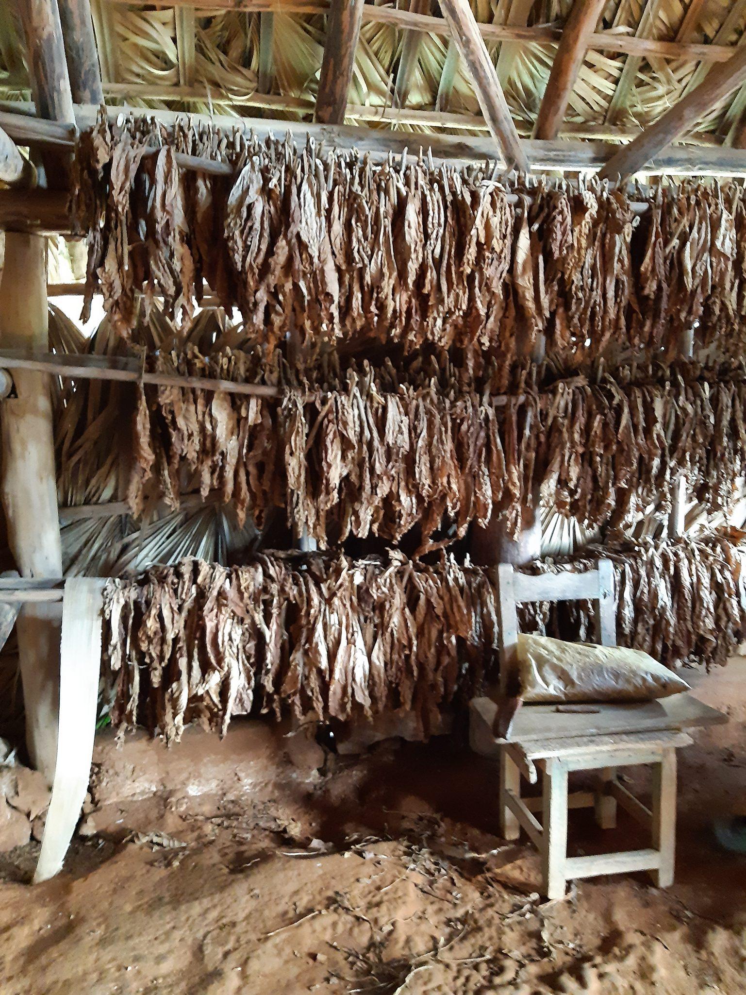 Tabakbauern Tabak zum trocknen