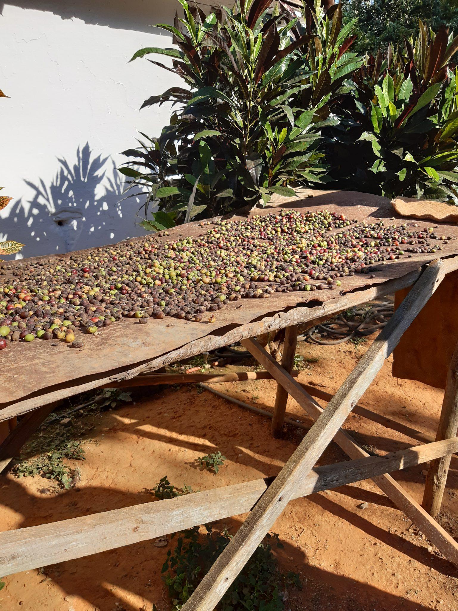 Tabakbauern Kaffeebohnen zum trocknen