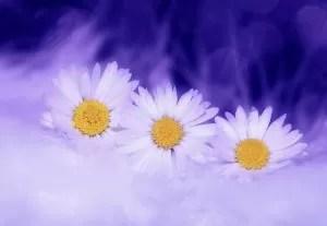 daisy-583090_640