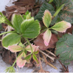 Figure 4. Glyphosate drift on strawberry