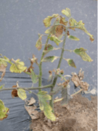 Figure 2. Glyphosate injury on tomato