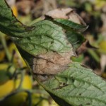 Late blight foliar lesion