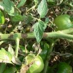 Late blight foliar lesion - stem