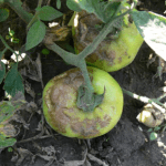 Late blight fruit symptoms
