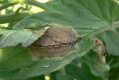 Tomato late blight foliar symptoms