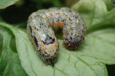 Variegated Cutworm