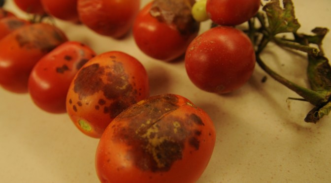 Tomato fruit rots
