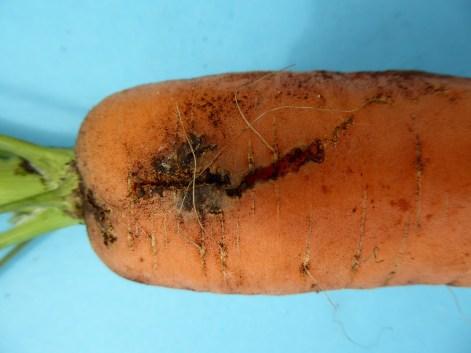 Carrot weevil feeding damage