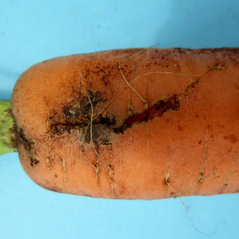 Carrot weevil feeding damage