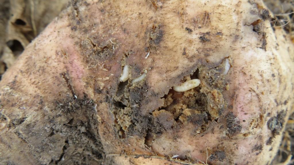 rutabaga cabbage maggot