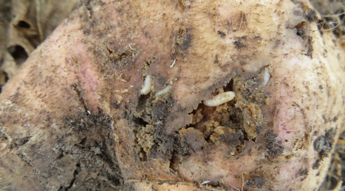 Cabbage Maggot; An old pest with limited options