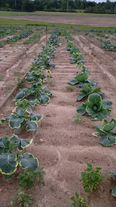 clomazone cauliflower 2