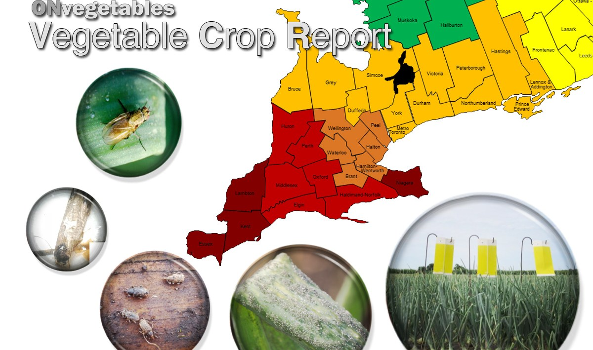 The onvegetables vegetable crop report. Picture of south western ontario divided by counties and coloured based on degree days. Southern counties are red, central counties are orange and northern counties are green. bubble pictures of onion maggot on a leaf, leak moth on a trap, carrot weevils, onion downy mildew, and yellow sticky traps in an onion field