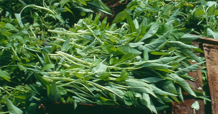 Asian Water Spinach