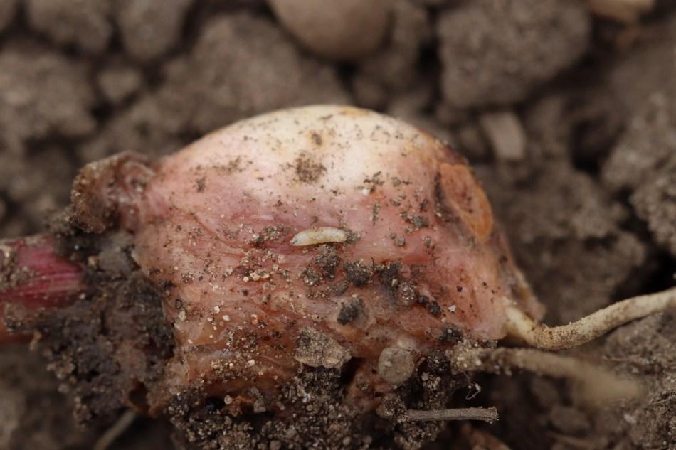 garlic-seedcorn
