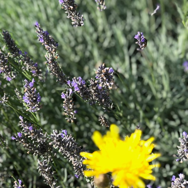 Lavender blooms in focus