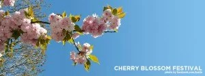 fb-cover-cherry-blossom