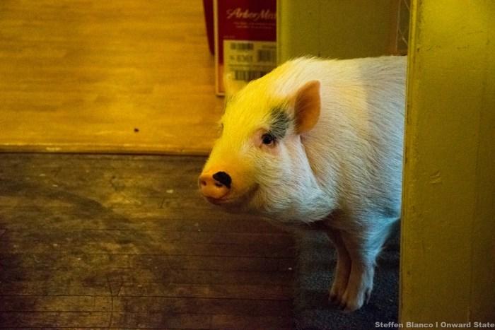 SMB_PigPhotos-0072