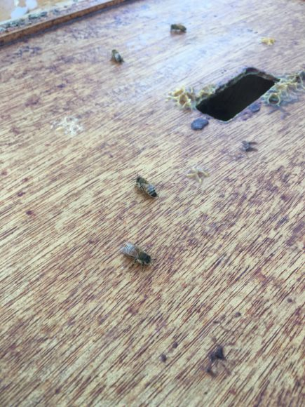 A couple of bees try to catch their breath after being smoked