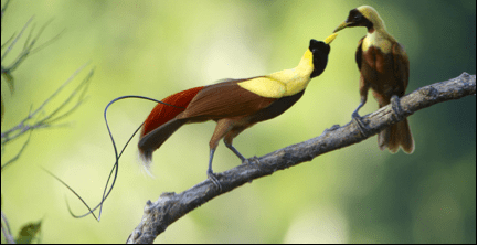 Birds of Paradise Species in West Papua - Tim Laman