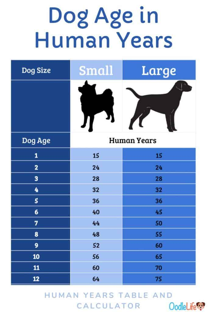How Many Dog Days Are In A Human Day : human, Calculator:, Years, Small, Dogs?, Conversion, Table, Human, Formula, Oodle