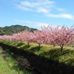 二箇下田中川沿いの八重桜