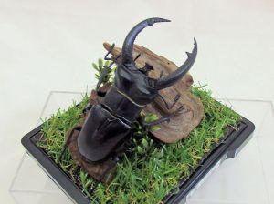 H. rhinoceros-09