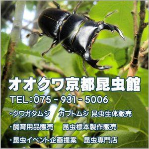 オオクワ京都昆虫館看板ロゴ