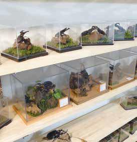 オオクワ京都昆虫館 店内標本展示棚