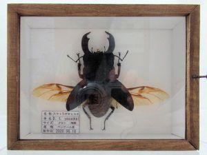 スマトラオオヒラタ♂80mm (飛翔 本物の標本)_02