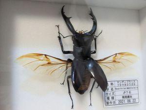マンディブラリスフタマタ♂76(飛翔標本)c