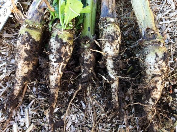 Hybrid rape roots. No signs of fanging or compaction