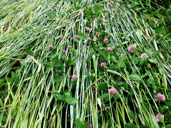 Crimper rollered rye & red clover