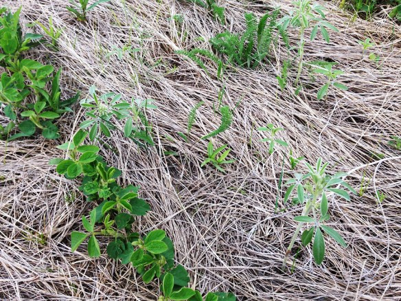 Soybeans growing in what was recently virgin prairie