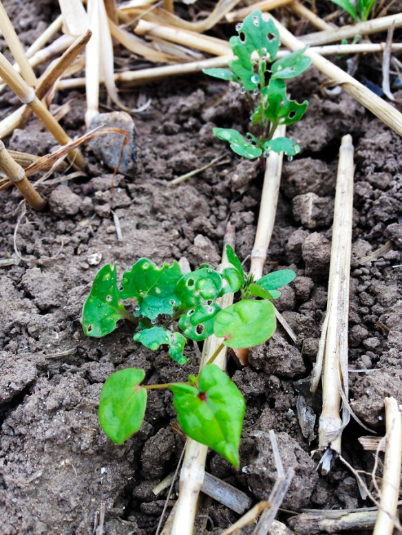 Flea beetle damaged OSR, next to an untouched buckwheat plant