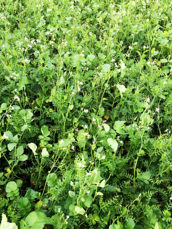 Oil radish and vetch