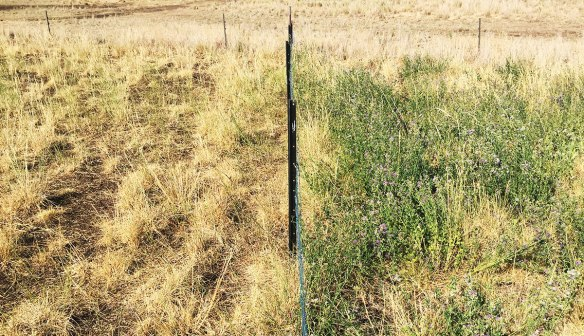John Traill's sheep paddocks - before and after grazing