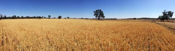 A field of oats ready to harvest