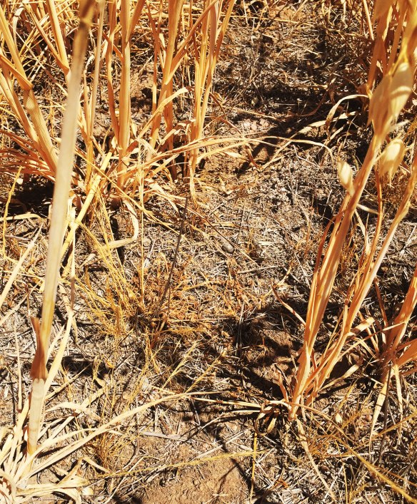Because it is so dry the warm season grasses are still lying dormant in the bottom of the oats. they look dead, but apparently are not...