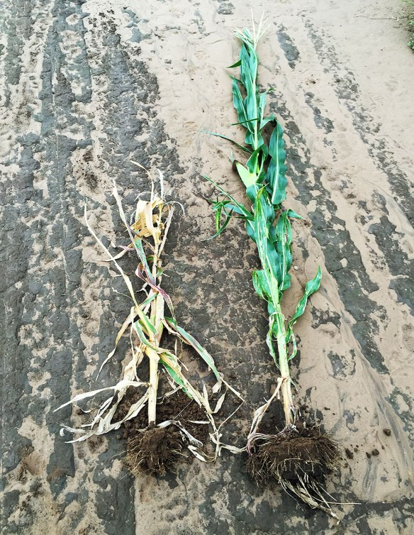 A popcorn plant (left) vs a normal grain maize plant (right). the popcorn yields half as much but is sold for double. It is also not taxed by the government, so it's a more profitable crop