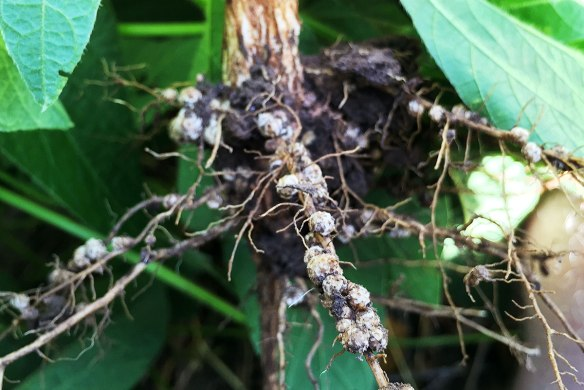 Superficially impressive root nodules on a Soya plant, although most of them were not functional