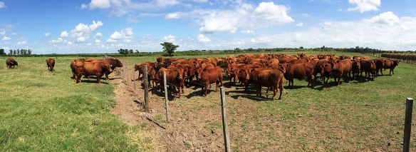 Red Angus cows & bulls