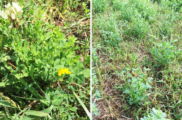 Bird's foot trefoil on left, mixed species ley on right