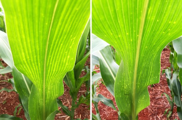 The distinct stripes on the left hand plant are due to a Sulphur deficiency. The soil that grew the right hand plant has been treated with gypsum (calcium sulphate) and does not show the same signs