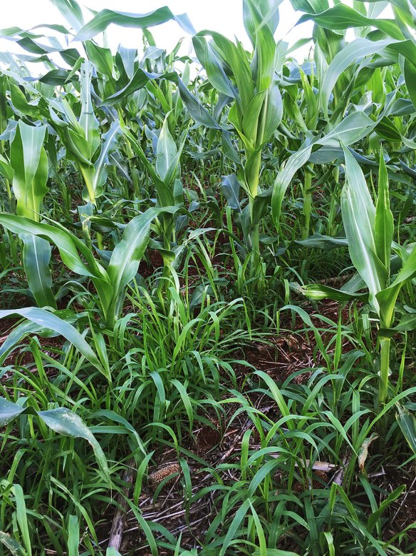 The Brachiaria seed rate is important - too much and it will compete with the maize, too little and the grazing benefits are limited. I don't think many agronomists in the UK would be happy with a maize crop that looked like this
