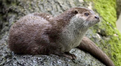 Europese otter (lutra lutra) foto: Bernard Landgraf CC BY-SA 3.0