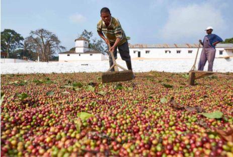 Ambaca aumenta colheita de café no ano agrícola 2019