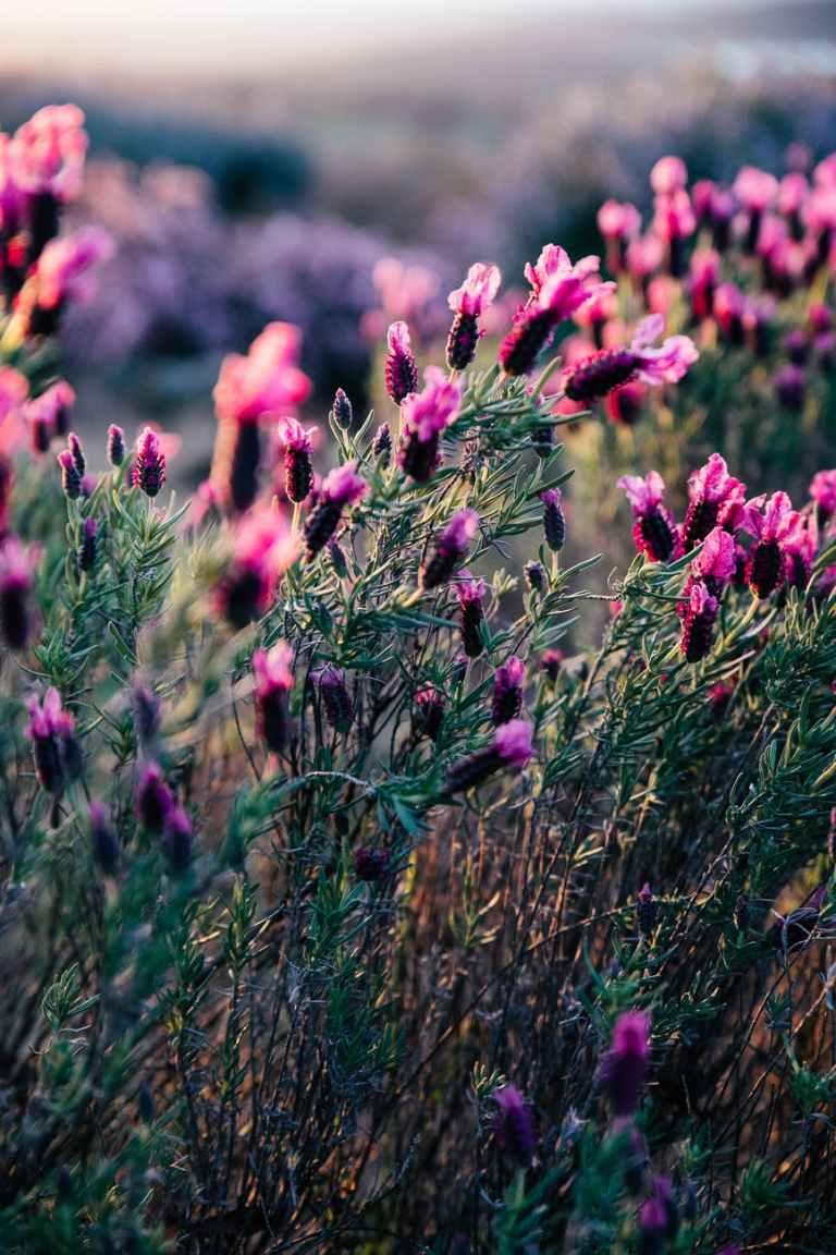 blooming lavender growing in peaceful summer nature