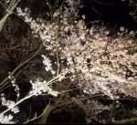 高遠城址公園の桜の見ごろと開花予想は?ライトアップは?