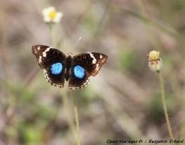Papillon Malgache
